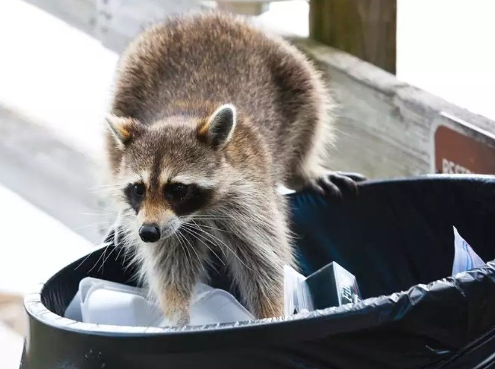 A raccoon looking through a trash can outside